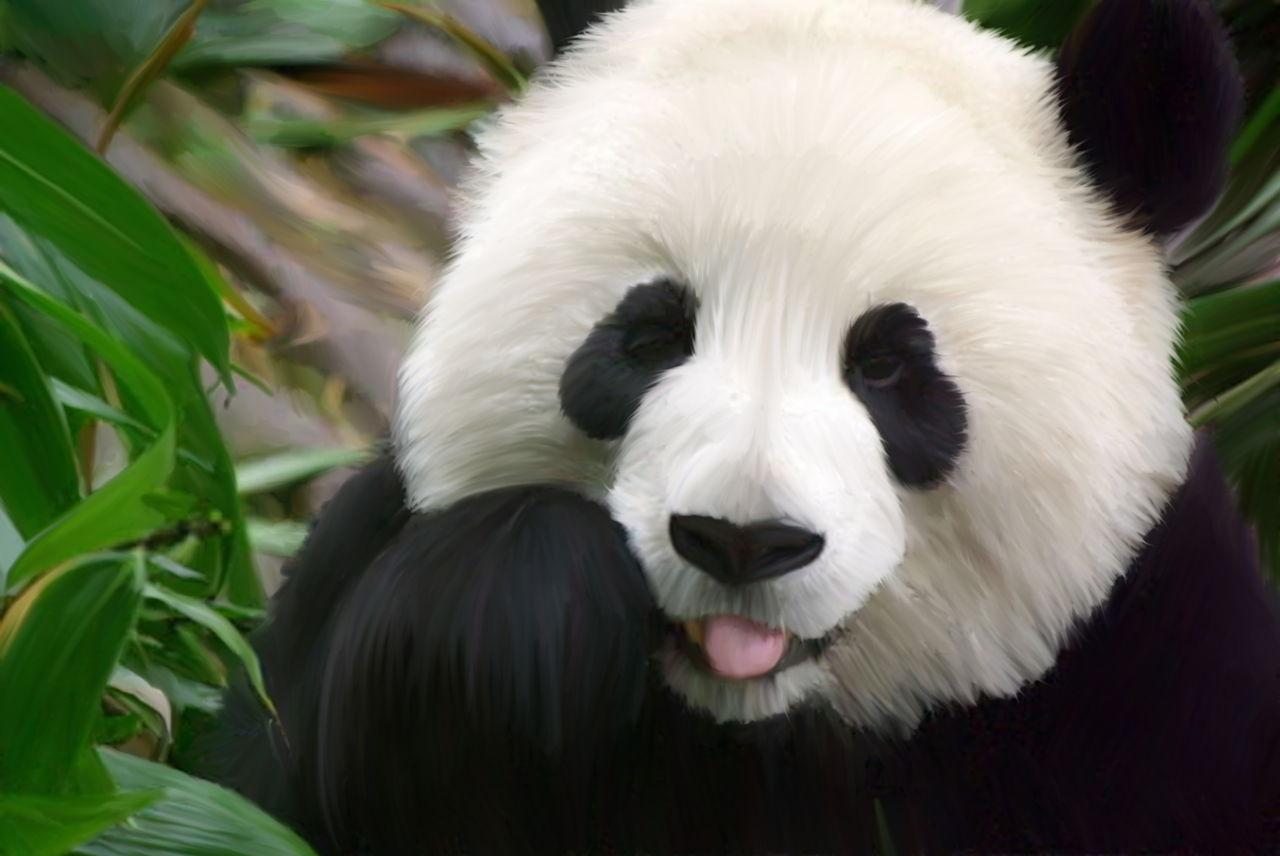 hinh-anh-gau-truc-panda-dep-6